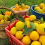 Kozan YAZ Portakalı 10-12kg KARGO BEDAVA