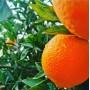 Kozan Portakalı 10-12Kg KARGO BEDAVA